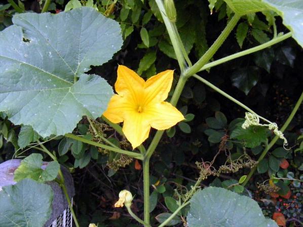 Des fleurs de Coloquinte des fruit de décor c'est beau non?