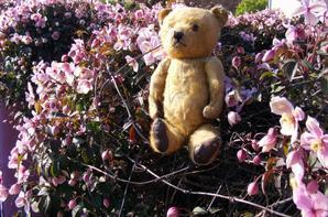 Beau temps mes ours dans les Clématite belle journée à vous tous++++