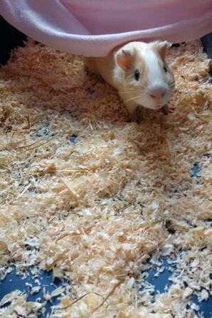 Mon nouveau cochon d'inde
