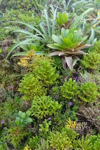 Végétation sur la Soufrière en Guadeloupe