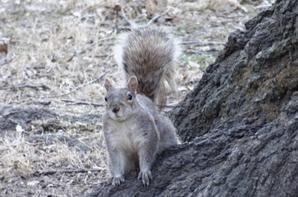 Écureuils New Yorkais