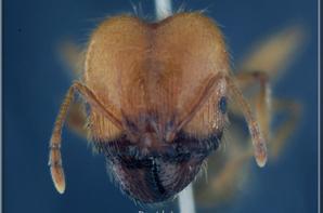 Description de la fourmi