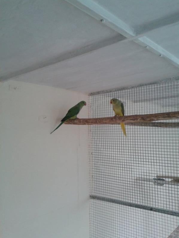Jeune couple mâle gris vert TJQJ x femelle  vert/TJQJ