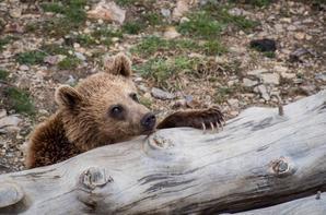 Andorre: La mort d'un ours, abattu dans un parc animalier, devient une affaire d'Etat