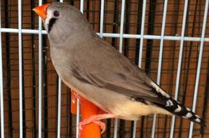 1 ere portée Mâle brun X femelle grise