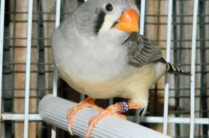 1er couple: Mâle gris blackface + femelle grise ( 2eme portée )