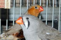 3eme couple : Mâle brun BFPOPN + femelle grise