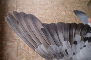 Limoges du 24 Aout 2013 ////  L Ulysse 60 ème/876 pigeons