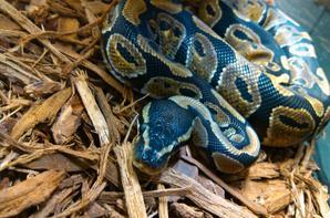 Mon Python Royal