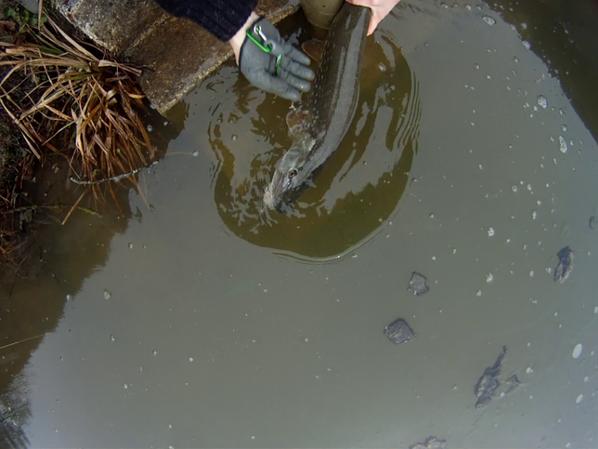 Pêche du brochet au streamer (à la mouche)