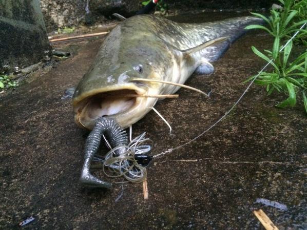 Pêche du silure aux leurres souples