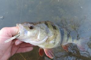 Pêche de la perche de début de saison