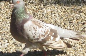 Une partie de mes pigeons.