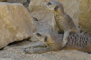 Un suricate