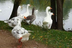 Des canards qui suivent une canne