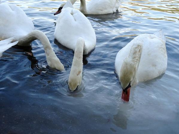 Des cygnes qui troublent la Seine en mangeant