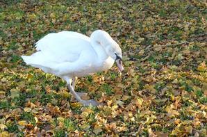 Un cygne au couleurs d'automne