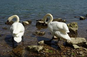 Des cygnes tuberculé au bord de Seine