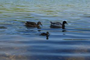 Une canne et son caneton plongent leurs têtes sous l'eau