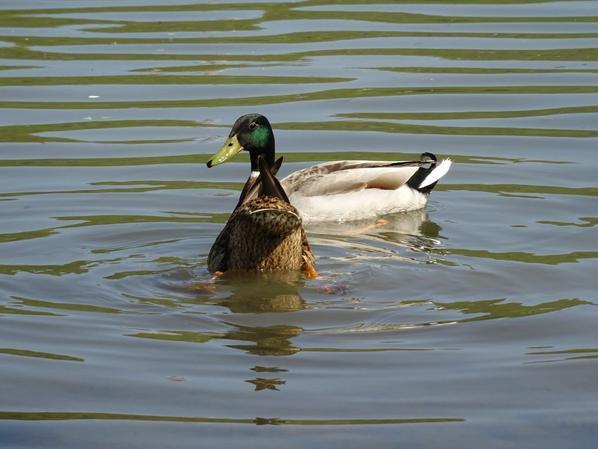 Foulque macroule et canard colvert
