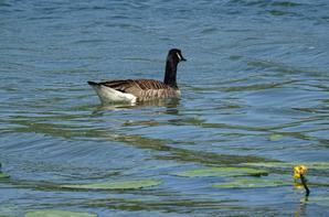 Des oies bernache du Canada dans les algues, puis s'en vont