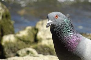 Pigeons et canards