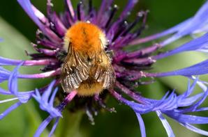 Une abeille qui butine sa fleur (2/2)