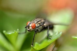 Quelques mouches avec mon objectif macro 105 mm