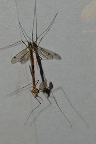 Des insectes qui se reproduisent
