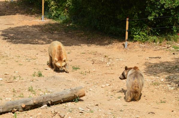 Un ours brun qui cherche à manger