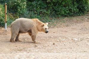 Un ours brun qui mange des feuilles