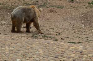Cet ours se lève pour manger des feuilles