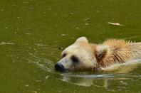 Un ours brun qui nage près de moi