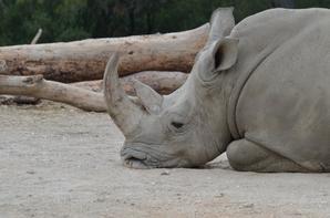 Un rhinocéros qui souffle dans la poussière