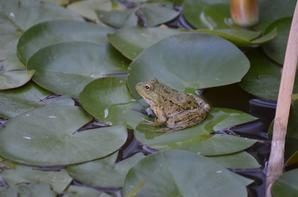 Une grenouille au repos sur une feuille de nénuphar