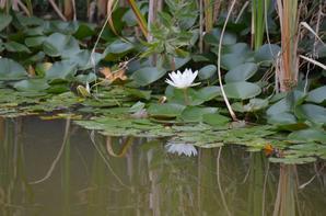 Une grenouille face à une fleur de nénuphar
