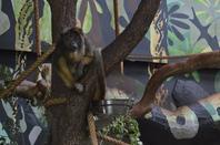 Un singe hurleur noir en train de manger et un autre au repos