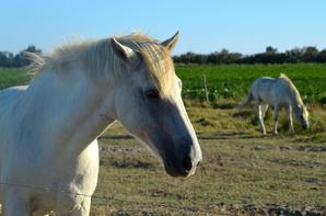 De magnifiques chevaux