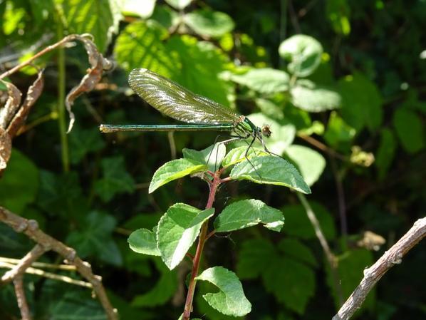 Une libellule sur sa feuille