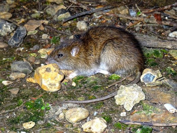 Un rat au repos