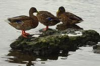 Quelques canards