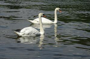 Cygnes et canard