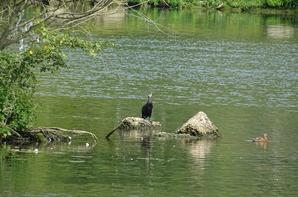 Un cormoran sur son rocher