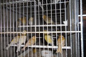 Les volières de sevrages se remplissent: au-dessus du jaune, suivit de fond rouge et puis des mélanines fond jaune.