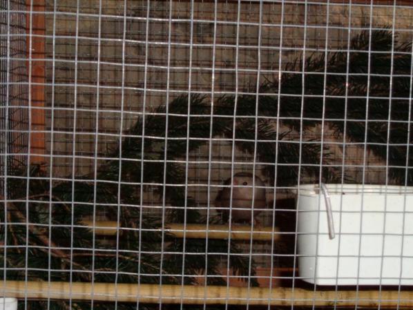 Voici mon couple de bouvreuil réuni, ils ont l'air de bien s'entendre !