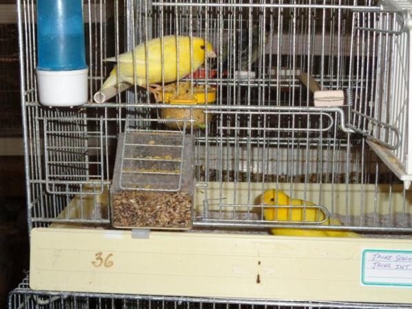 Un couple de jaune , avec ses deux petits. La femelle jaune intensive est une femelle achetée à Leuven auprès de Wim Verhaegen nouveau champion du monde à Alméria