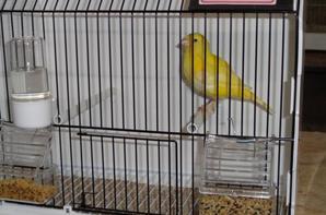 Mes premiers oiseaux en cages d'entraînement, la mue est bien là je donne assez bien de multivitamines dans du couscous