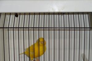 quelques beaux mâles jaunes intensifs