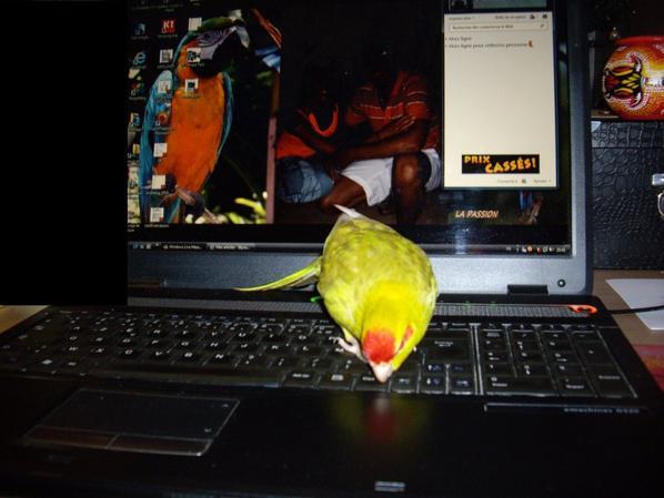 Renseignement perruche Kakariki