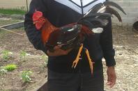 Amateur de la Martinique venu sélectionner quelques coqs et poules.